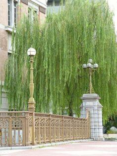 Weeping willow and Nayabashi Bridge, Nagoya, Japan 納屋橋