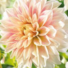 Flower Bulbs - Dinner Plate Dahlia Ice Cube