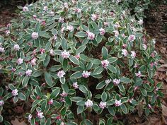 Marina varigated winter daphne - Google Search