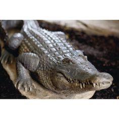 Bronze Crocodile Alligator Gator Garden Outdoor Lawn Statue Sculpture Figure