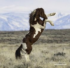 An older wild stallion named Flash rears up early one spring morning in McCullough Peaks, Wyoming. This is a horse photography fine art print, signed by Carol Walker and printed on archival paper with archival inks. Most Beautiful Horses, All The Pretty Horses, Animals Beautiful, Clydesdale, Appaloosa, Cheval Pie, Horse Rearing, Horse Wall Art, Wild Mustangs