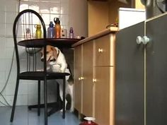 Clever Dog Uses Chair to Steal Food | Watch the video - Yahoo! Screen  One determined Pooch