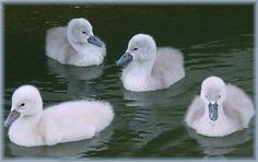 Baby Swan | SWANS CYGNETS Collection of SWAN Photographs,Baby Swans-ckground Sets ...