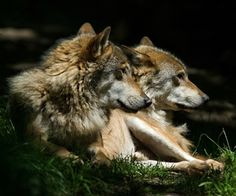 MAP: Which States Hunt Wolves? | Mother Jones