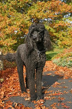 Looks just like my childhood pet...large black standard poodle! Best dog that ever lived. His name was Sputnik!