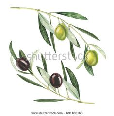 Olive branches isolated on white background. Watercolor Fruit, Watercolor Leaves, Watercolor Paintings, Botanical Drawings, Botanical Art, Olives, Herb Tattoo, Acrylic Art, Watercolor Illustration