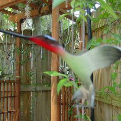 Hummingbird Flying from PipeBirds