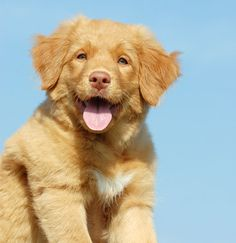 nova scotia duck tolling retriever (: