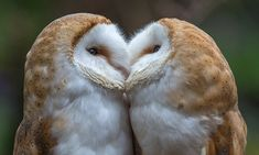 Sisterly display of affection as barn owls are caught on camera 'kissing' | Daily Mail Online