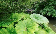 De stora bladen hos parasollblad, Astilboides tabularis, förstärker vattenkänslan vid Strömparterren. Stora blad är mycket effektiva för att skapa vattenkänsla. Något man kan utnyttja för att skapa en sådan atmosfär även där det inte finns tillstymmelse till vatten.