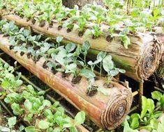 Bertanam sayur pada media batang pisang