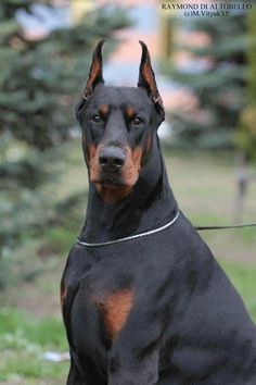 The Doberman Pinscher is among the most popular breed of dogs in the world. Known for its intelligence and loyalty, the Pinscher is both a police- favorite Doberman Mix, Doberman Pinscher Dog, Rottweiler Puppies, Black And Tan Terrier, Dog Care, Beautiful Dogs, Dog Grooming, Dog Toys, Dog Training