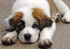 I love saint bernard's and that's all there is to it.