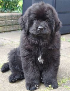 Newfoundland puppy - isn't it just adorable??