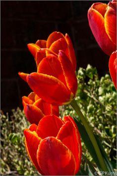 It's Tulips