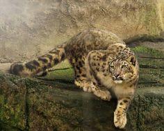 Clouded Snow Leopard.
