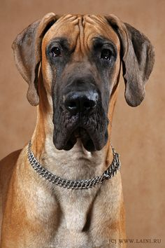 If I had a great dane, his name would be Scooby