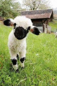 Valais Blacknose Sheep   Cutest Sheep In The World?