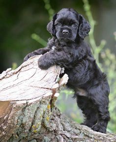 Find Cocker Spaniel Puppies in your area and helpful tips and info. All purebred Cocker Spaniel puppies are from AKC registered parents. Spaniel Puppies For Sale, Cocker Spaniel Puppies, Cute Puppies, Dogs And Puppies, Clumber Spaniel, Black Cocker Spaniel, American Cocker Spaniel, Shetland Sheepdog, Pet Dogs