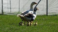 Οικογένεια χήνες αγροτουριστική Φάρμα, Φάρμα ζώων, Ράντζο πόνυ Garden Sculpture, Bird, Outdoor Decor, Animals, Animales, Animaux, Birds, Animal, Animais