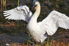 Vogel, Schwan, Natur, Tier, Foto, Flügel