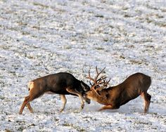 Responsible hunting, game management and wildlife conservation are important aspects of any wild game hunting, but many find the challenge of deer hunting to be the most challenging. Here are some ideas and deer hunting tips to make y Mule Deer Buck, Mule Deer Hunting, Deer Hunting Tips, Trophy Hunting, Bow Hunting, Deer Rut, Hunting Stuff, Archery Hunting, Grand Prince