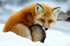 Beauty Fox II by *Eltasia on deviantART