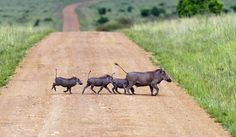 Masai Mara National Reserve, Kenya-Wart Hogs, tails always up when walking.
