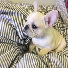 Haboo watching tv, French Bulldog Puppy, 하부부 #토깽이