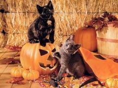 Cute Halloween Cat Pumpkin | cute cats on Halloween pumpkins - Cats & Animals Background Wallpapers ...