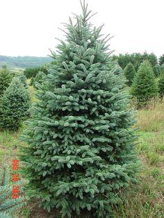 colorado spruce   Colorado Blue Spruce