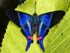 ~~Dyson's Swordtail Butterfly   Andreas Kay~~