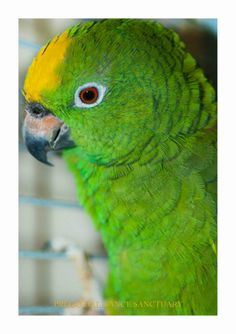 Apple (amazon parrot)