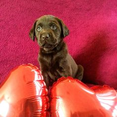 Valentine day .#love #puppylove #valentines #talesofalab #worldoflabs #red #puppylove #labrador_retriever #fab_labs #furbaby #fabulous #greatlabsofinsta #great #puppypower #lovemylife #furbaby #instagram #instalab #instadaily by labradors4life