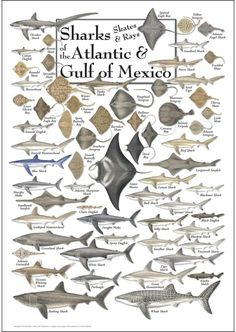 Sharks, Skates, and Rays of the Atlantic and Gulf of Mexico Poster just a cool poster, not related to chilli. Underwater Creatures, Ocean Creatures, Orcas, Fish Chart, Species Of Sharks, Kunst Poster, Marine Biology, Shark Week, Saltwater Fishing