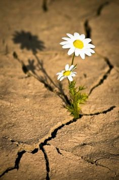 The daisy grew into a beautiful flower and the dry crack in the earth🌾 Desert Flowers, Wild Flowers, Beautiful Flowers, Beautiful Pictures, Bloom Where Youre Planted, Daisy Love, Desert Life, Flower Wallpaper, Flower Power