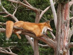 RED FOX UP IN A TREE - BIG YAWN!