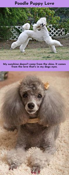 Just click the link to find out more Poodles #poodlelove  Click the link for more