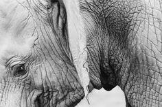 Rivet Up Close Black and White Elephant Photo Canvas Print Wall Art Decor, x Photos Free, Photos Hd, Free Pictures, Stock Photos, Free Pics, Free Images, Elephant Facts, Elephant Poster, Cute Elephant