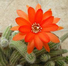 Mis Plantas - My plants: Chamaecereus silvestrii: ahora .... color anaranjado - Silvestrii Chamaecereus: now .... orange