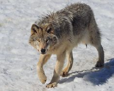Timber Wolf Prowling Photograph