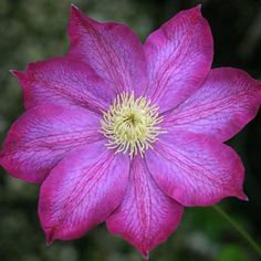 Buy Clematis 'Pink Champagne' & shop across a great range of climbers from Ireland's award winning gardening & lifestyle experience. Clematis Plants, Clematis Vine, Garden Centre, Pink Champagne, Vines, Planting, Pocket, Beauty, Flowers