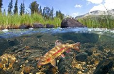 Stunning underwater trout photography, from rainbow and brook trout to brown trout, steelhead, and sockeye, featuring native habitats and rare species. Fishing Photography, Man Photography, Best Fishing, Fly Fishing, Sport Fishing, Fishing Stuff, Salt And Water, Fresh Water, Trout Fishing Tips