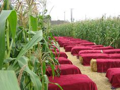I always wanted a wedding in the middle of a cornfield!