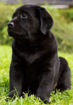 The Labrador Retriever is very loving and loyal to the family, enjoying to play games and socializing with people. Find out all about Labrador Retrievers here!