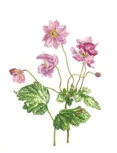 ARTFINDER: Wind Flowers by Zoe Norman - This original botanical painting features Japanese Anemones commonly known as 'Wind Flowers'. I loved painting these delicate pink flowers and especially enj...