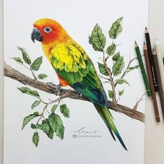 Hugo the Parakeet. Realistic Wild Animal Drawings. By Chloe O'Shea.