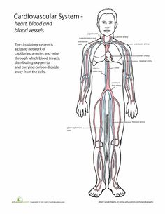Worksheets: Inside-Out Anatomy: The Cardiovascular System