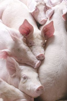 Cute Pile of Piggy Wiggies This Little Piggy, Little Pigs, Country Life, Country Girls, Country Farm, Country Living, Beautiful Creatures, Animals Beautiful, Farm Animals