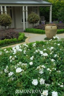 Shrubs white carpet rose also comes in yellow pink and red fall gardening projects mightylinksfo Image collections